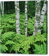 Silvery Birch Bark Gleams From A Bed Canvas Print