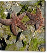 Simply Starfish Canvas Print