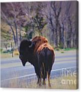 Single Buffalo In Yellowstone Np Canvas Print