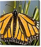 Single Monarch Butterfly Canvas Print