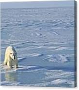 Single Polar Bear Canvas Print