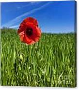 Single Poppy Flower  In A Field Of Wheat Canvas Print