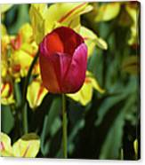 Single Red Tulip Canvas Print