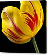 Single Yellow And Red Tulip Canvas Print
