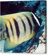 Six-banded Angelfish Canvas Print
