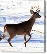 Six Point Buck Canvas Print