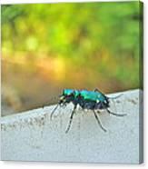 Six-spotted Tiger Beetle - Cicindela Sexguttata Canvas Print