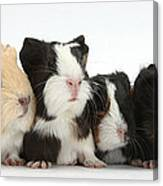 Six Young Guinea Pigs In A Row Canvas Print