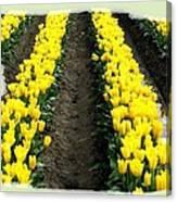 Skagit Valley Tulips 2 Canvas Print