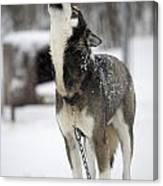 Sled Dog Howling Canvas Print