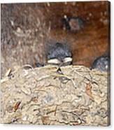 Sleeping Barn Swallows Canvas Print