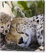 Sleeping Cheetah And Cub Kenya Canvas Print