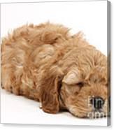 Sleeping Cockerpoo Puppy Canvas Print