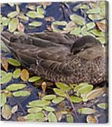 Sleeping Duck Canvas Print