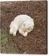 Sleeping Ivory The Cat Canvas Print