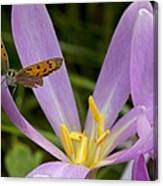 Small Copper Butterfly On Flower Canvas Print