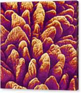 Small Intestine Villi, Sem Canvas Print