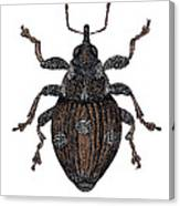 Small Nettle Weevil Canvas Print