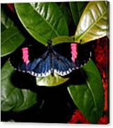 Small Postman Butterfly Canvas Print