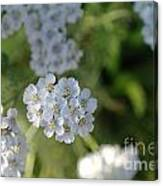 Small White Wildflowers  Canvas Print