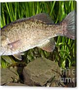 Smallmouth Bass Micropterus Dolomieu Canvas Print