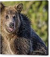 Smiling Grizzly Canvas Print