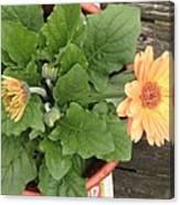 Smiling Orange Zerbera Flower Canvas Print