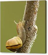 Snail In Dew Canvas Print