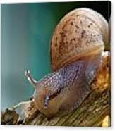 Snail Traversing Canvas Print