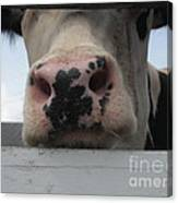 Sniffing Cow Canvas Print