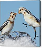 Snow Buntings And Ice Canvas Print