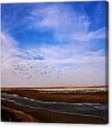 Snow Geese At Rest Canvas Print