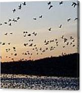 Snow Geese At Sunrise Canvas Print