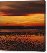Snow Geese Come To Rest In Squaw Creek Canvas Print