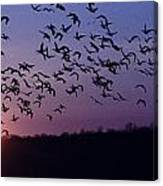 Snow Geese Migrating Canvas Print
