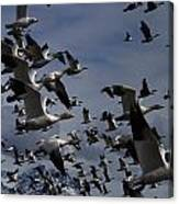 Snow Goose Blast Off Canvas Print
