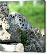 Snow Leopard At Rest. Kitty Time Canvas Print