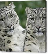 Snow Leopard Pair Sitting Canvas Print