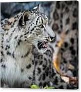 Snow Leopards Canvas Print