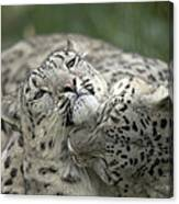 Snow Leopards Playing Canvas Print