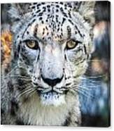 Snow Leopards Stare Canvas Print