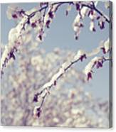 Snow On Spring Blossom Branches Canvas Print