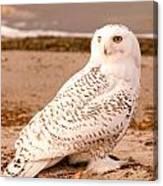 Snow Owl3 Canvas Print