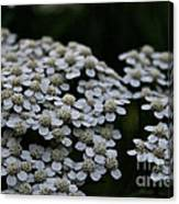 Snow Sport Yarrow Canvas Print