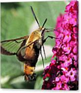 Snowberry Clearwing Moth Canvas Print