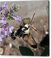 Snowberry Clearwing Moth Feeding Canvas Print