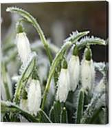 Snowdrops (galanthus Sp.) Canvas Print