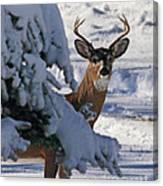 Snowy Buck Canvas Print