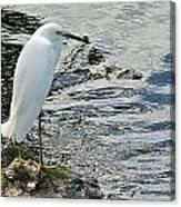 Snowy Egret 2 Canvas Print