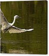 Snowy Egret Fishing In Florida Canvas Print